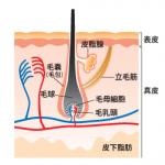 17型コラーゲンと加齢による薄毛の関係