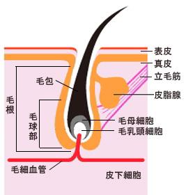 キャピキシルの発毛効果と副作用